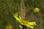 Lycaena phlaeas (Tom Schulte)