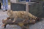 Wildkatzen-Präparat
